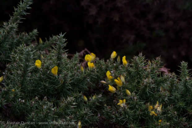 gorse or whin