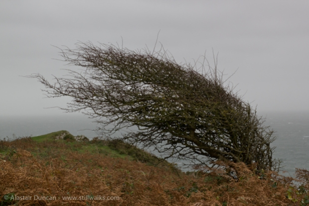 windblown hawthorn