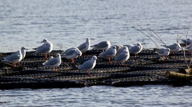 Gulls at rest