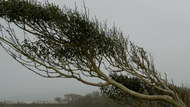 Windblown Tree in Mist