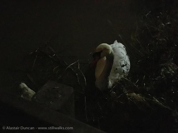 Swan in the night light