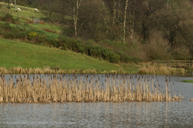 Reeds in lake at The Waterside