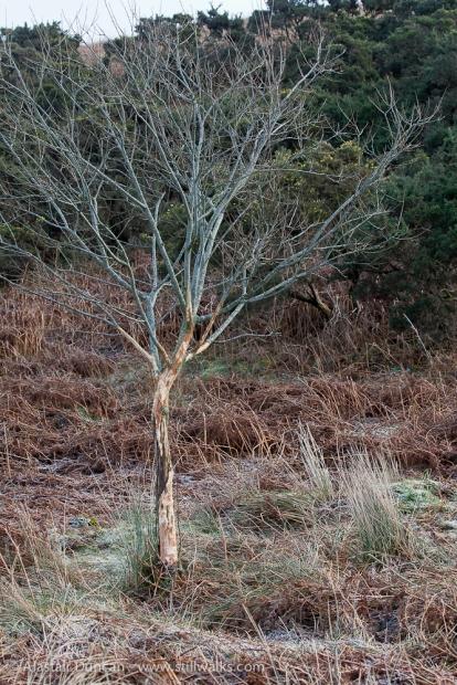 bare Graig Fawr tree