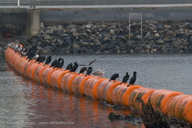line of cormorants