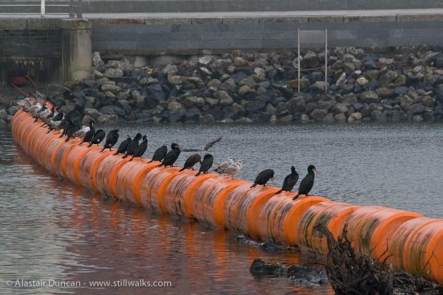 line of cormorants